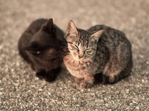 可愛過ぎる,キス,猫,画像,まとめ161E1933E656FADC4C25C4A169BFF89FF67DABFE984DBB3274DE4ECEAFC97536