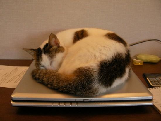 PC作業,邪魔,猫,画像,まとめ006