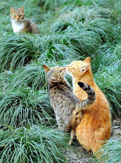 ネコ,ラブリー,kiss,画像,まとめ009