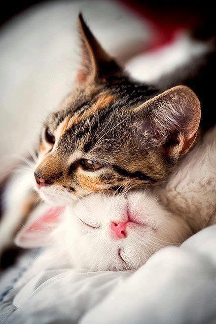 ネコ,ラブリー,kiss,画像,まとめ011