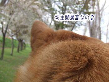 萌え過ぎる,柴犬,後頭部,画像,まとめ001