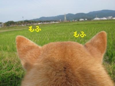 萌え過ぎる,柴犬,後頭部,画像,まとめ002
