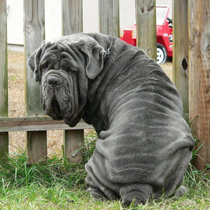 Image result for mastiff 犬  愛らしい