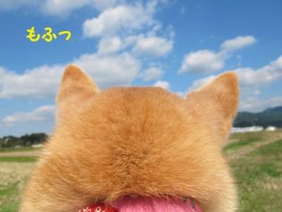 萌え過ぎる,柴犬,後頭部,画像,まとめ009