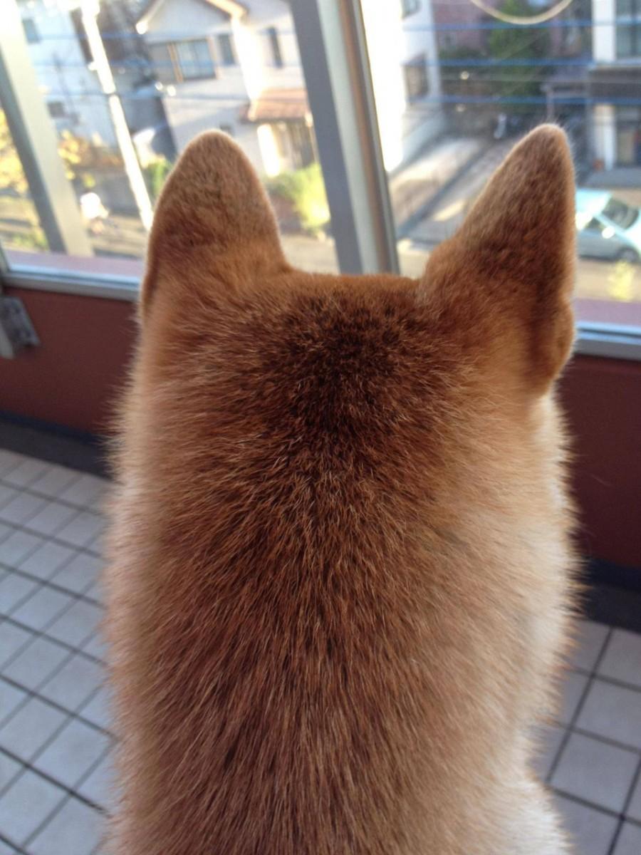 萌え過ぎる,柴犬,後頭部,画像,まとめ013