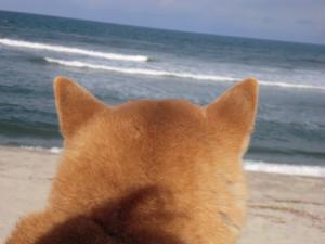 萌え過ぎる,柴犬,後頭部,画像,まとめ016