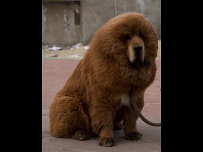 悶絶,可愛い,大型犬,画像,まとめ021