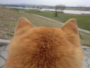萌え過ぎる,柴犬,後頭部,画像,まとめ035