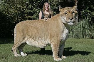 超巨大,デブ猫,画像,まとめ001