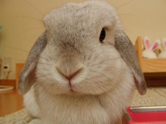ウサギ,どアップ,顔,画像,まとめgi012