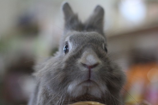 ウサギ,どアップ,顔,画像,まとめgi013
