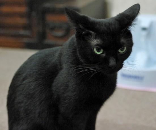 クール,カッコイイ,黒猫,画像,まとめ002