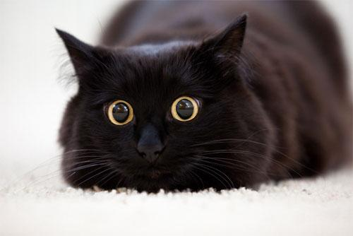 クール,カッコイイ,黒猫,画像,まとめ031