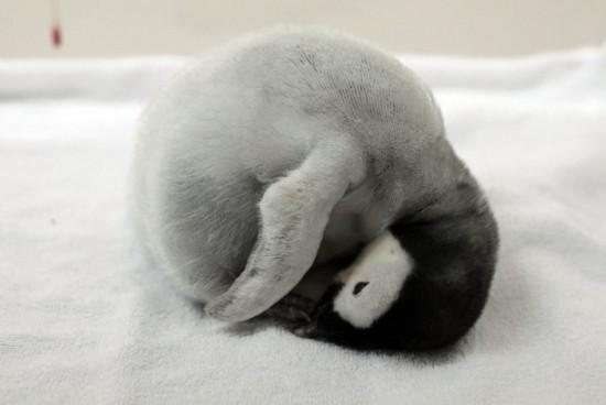 癒される,子ペンギン,画像,まとめ001