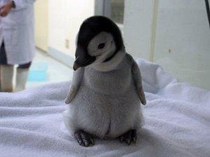 癒される,子ペンギン,画像,まとめ002