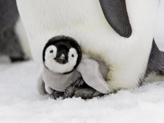 癒される,子ペンギン,画像,まとめ003