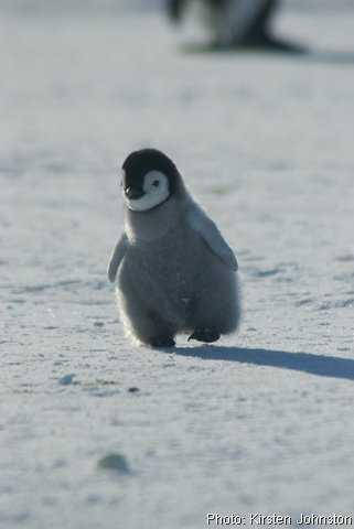 癒される,子ペンギン,画像,まとめ004