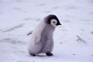 癒される,子ペンギン,画像,まとめ007