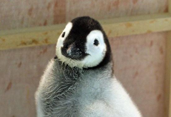 癒される,子ペンギン,画像,まとめ008