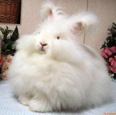 もふもふ,アンゴラウサギ,画像,まとめ005