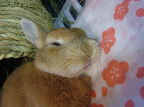 癒し,ウサギ,寝顔,画像,まとめ006