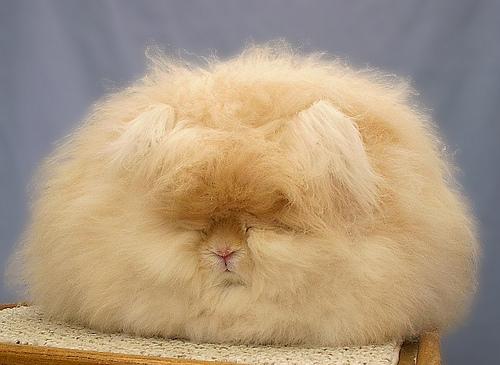 もふもふ,アンゴラウサギ,画像,まとめ006