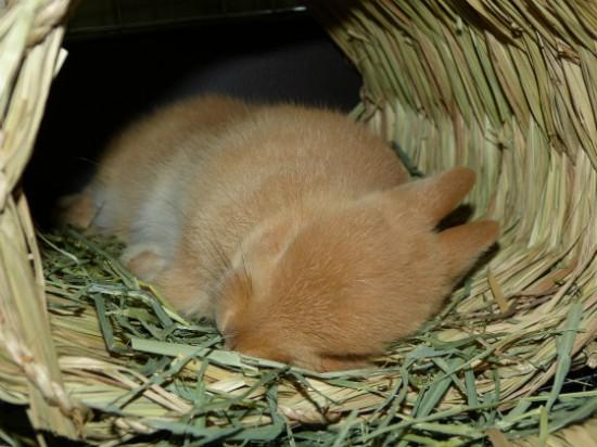 癒し,ウサギ,寝顔,画像,まとめ007