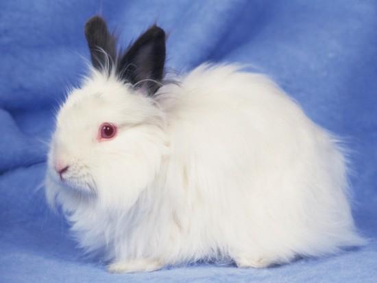 もふもふ,アンゴラウサギ,画像,まとめ007