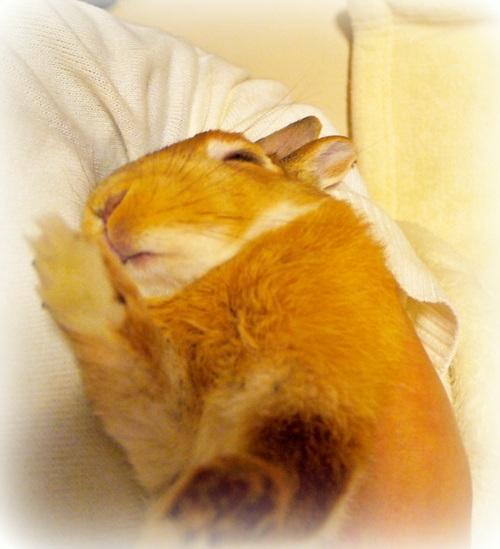 癒し,ウサギ,寝顔,画像,まとめ008