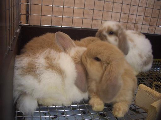 ウサギ,おしくらまんじゅう,集合,画像,まとめ008