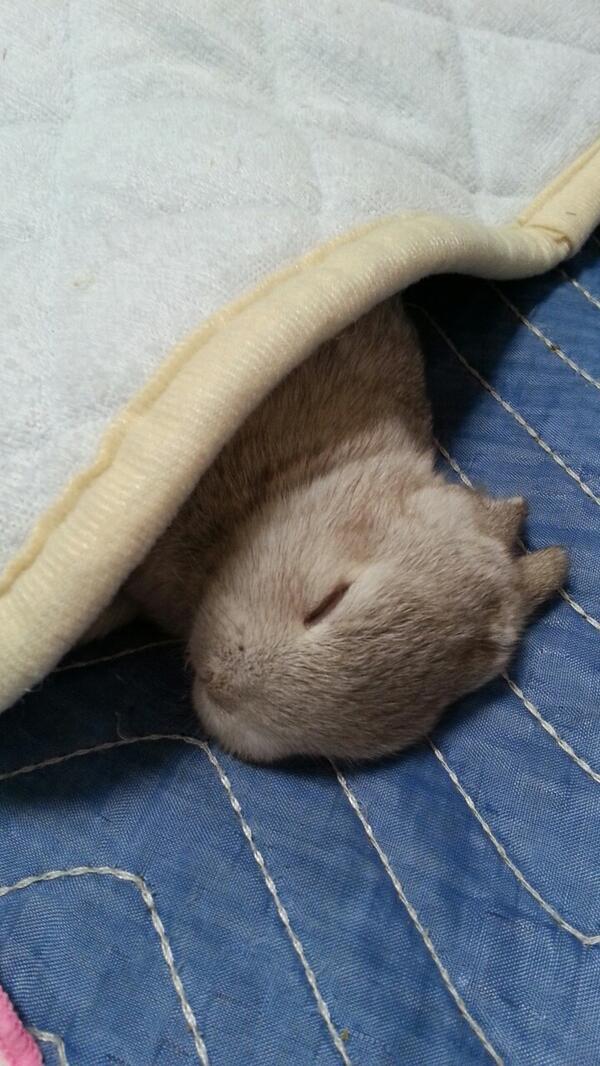癒し,ウサギ,寝顔,画像,まとめ010