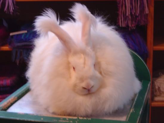 もふもふ,アンゴラウサギ,画像,まとめ011