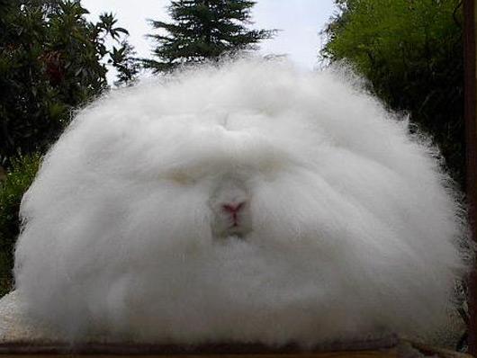 もふもふ,アンゴラウサギ,画像,まとめ012