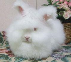 もふもふ,アンゴラウサギ,画像,まとめ017