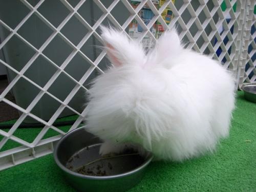 もふもふ,アンゴラウサギ,画像,まとめ019