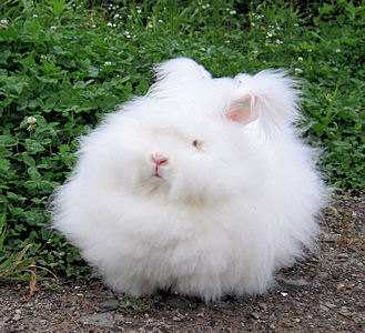 もふもふ,アンゴラウサギ,画像,まとめ023
