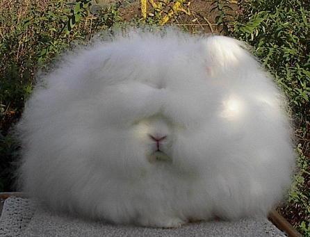 もふもふ,アンゴラウサギ,画像,まとめ026