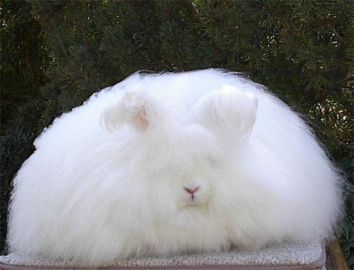 もふもふ,アンゴラウサギ,画像,まとめ030