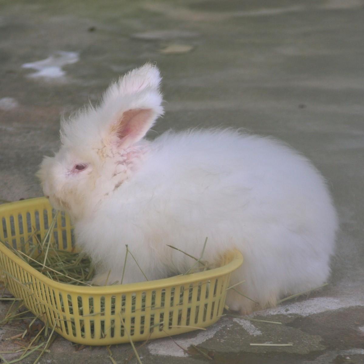 もふもふ,アンゴラウサギ,画像,まとめ034