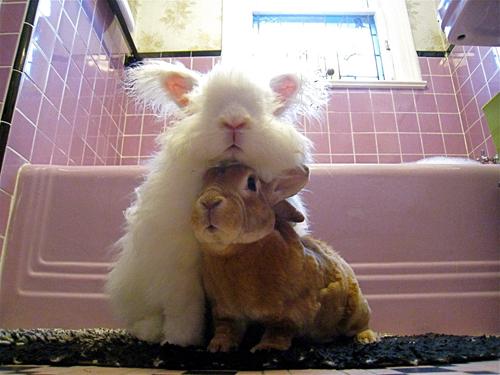 もふもふ,アンゴラウサギ,画像,まとめ035