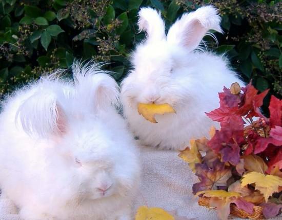 もふもふ,アンゴラウサギ,画像,まとめ036