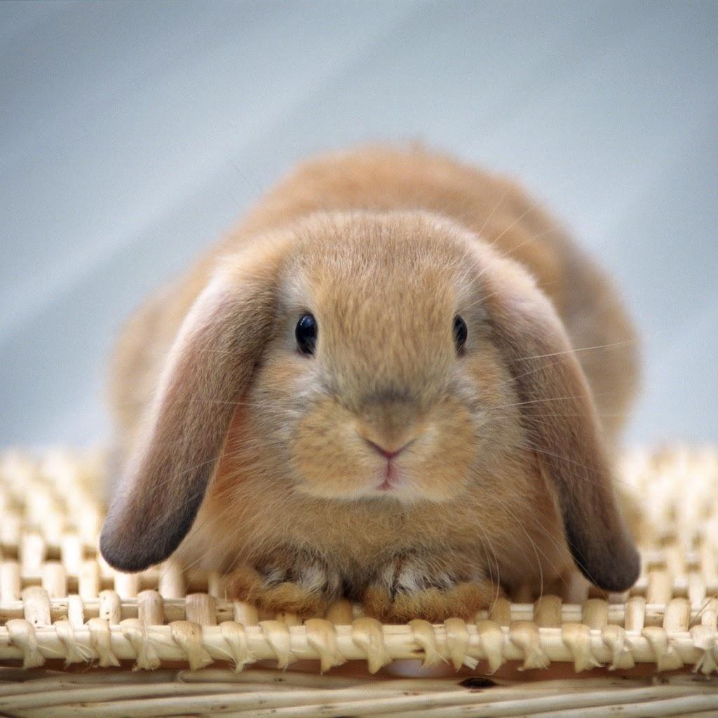 かわいらしい,子ウサギ,画像,まとめ038