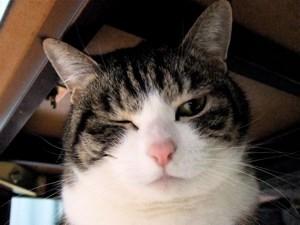 猫,愛らしい,ウインク画像,まとめ002