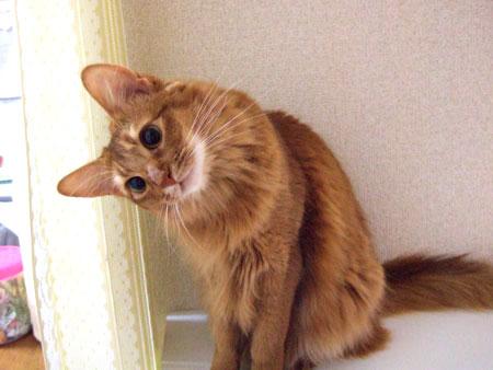 首をかしげている,可愛い,猫.画像,まとめ002