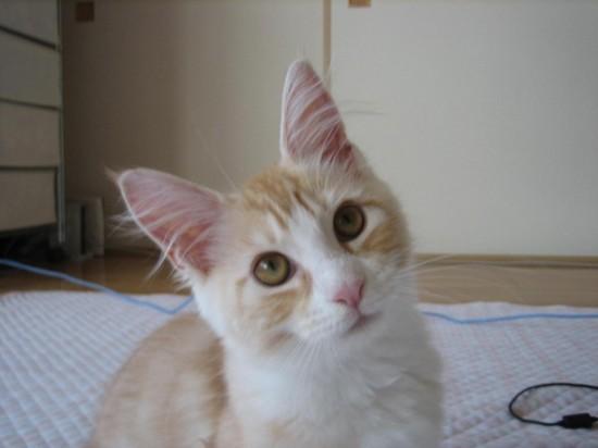 首をかしげている,可愛い,猫.画像,まとめ008