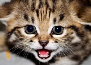 世界最小,クロアシネコ,可愛い,画像,まとめ013