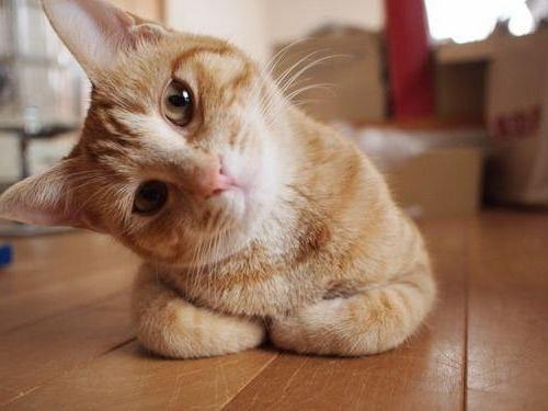 首をかしげている,可愛い,猫.画像,まとめ013