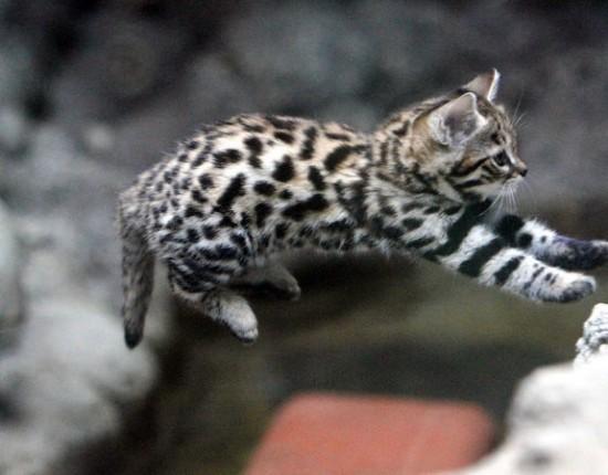 世界最小,クロアシネコ,可愛い,画像,まとめ016