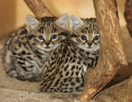 BLACK FOOTED CATS2#65898
