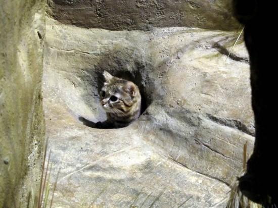 世界最小,クロアシネコ,可愛い,画像,まとめ019